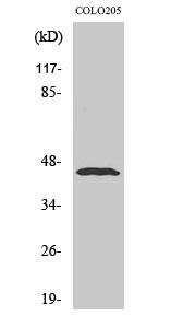 Fig. Western Blot analysis of various cells using Emp Polyclonal Antibody diluted at 1:500.