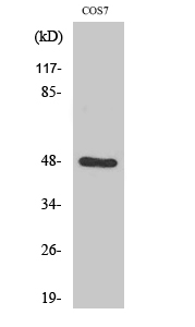 Fig. Western Blot analysis of various cells using Endophilin B2 Polyclonal Antibody diluted at 1:1000.