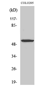 Fig.2. Western Blot analysis of COLO205 cells using EP4 Polyclonal Antibody.
