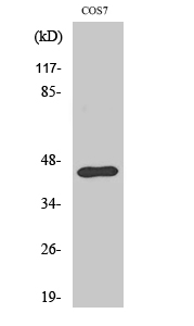 Fig. Western Blot analysis of various cells using Ephrin-B1 Polyclonal Antibody.