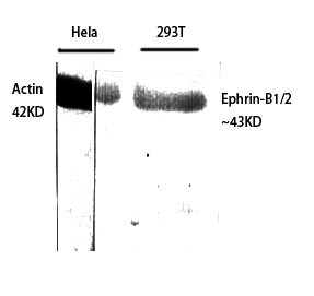 Fig.1. Western Blot analysis of various cells using Ephrin-B1/2 Polyclonal Antibody diluted at 1:500.