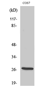 Fig. Western Blot analysis of various cells using ERAB Polyclonal Antibody.