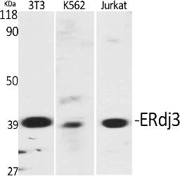 Fig.1. Western Blot analysis of various cells using ERdj3 Polyclonal Antibody diluted at 1:2000.