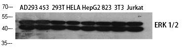 Fig.1. Western Blot analysis of various cells using ERK 1/2 Polyclonal Antibody diluted at 1:1000.