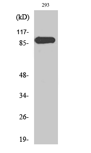 Fig. Western Blot analysis of various cells using ERK 3 Polyclonal Antibody.