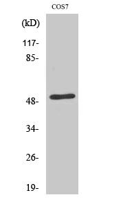Fig. Western Blot analysis of various cells using ETAR Polyclonal Antibody.