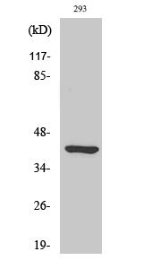 Fig. Western Blot analysis of various cells using Ethanolamine kinase 2 Polyclonal Antibody.
