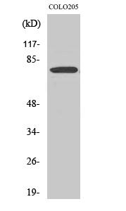 Fig.2. Western Blot analysis of COLO205 cells using EWS Polyclonal Antibody.