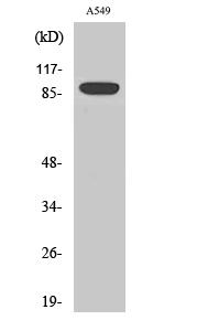 Fig. Western Blot analysis of various cells using Exo1 Polyclonal Antibody.