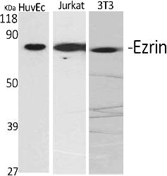 Fig.1. Western Blot analysis of various cells using Ezrin Polyclonal Antibody diluted at 1:2000.