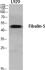 Fig.1. Western Blot analysis of various cells using Fibulin-5 Polyclonal Antibody diluted at 1:1000.