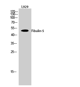 Fig.2. Western Blot analysis of L929 cells using Fibulin-5 Polyclonal Antibody diluted at 1:1000.