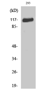 Fig. Western Blot analysis of various cells using Flg Polyclonal Antibody diluted at 1:1000.
