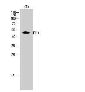 Fig.2. Western Blot analysis of 3T3 cells using Fli-1 Polyclonal Antibody.