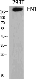 Fig.1. Western Blot analysis of various cells using FN1 Polyclonal Antibody diluted at 1:2000.