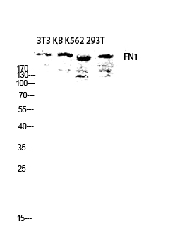 Fig.3. Western blot analysis of 3T3 KB K562 293T lysis using FN1 antibody. Antibody was diluted at 1:2000.