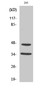 Fig. Western Blot analysis of various cells using FoxB1/2 Polyclonal Antibody.