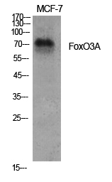 Fig.1. Western Blot analysis of various cells using FoxO3A Polyclonal Antibody diluted at 1:1000.
