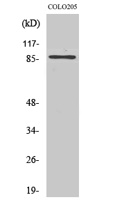Fig.2. Western Blot analysis of Jurkat cells using FoxO3A Polyclonal Antibody diluted at 1:1000.