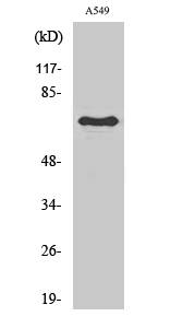 Fig.1. Western Blot analysis of various cells using Frizzled-3 Polyclonal Antibody.