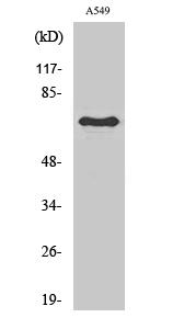 Fig.2. Western Blot analysis of RAW264.7 cells using Frizzled-3 Polyclonal Antibody.