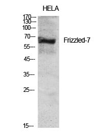 Fig.1. Western Blot analysis of various cells using Frizzled-7 Polyclonal Antibody diluted at 1:2000.