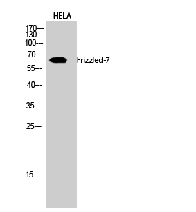 Fig.2. Western Blot analysis of hela cells using Frizzled-7 Polyclonal Antibody diluted at 1:2000.