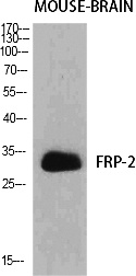 Fig.1. Western Blot analysis of various cells using FRP-2 Polyclonal Antibody diluted at 1:500.