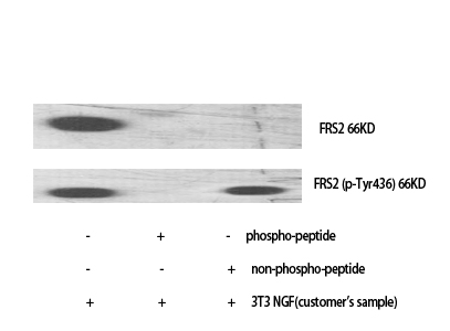 Fig.1. Western Blot analysis of various cells using FRS2 Polyclonal Antibody diluted at 1:1000.