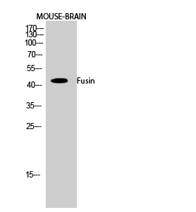 Fig.2. Western Blot analysis of Mouse-BRAIN cells using Fusin Polyclonal Antibody diluted at 1:1000.