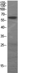 Fig.1. Western Blot analysis of various cells using GAD-65/67 Polyclonal Antibody.