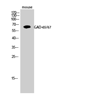 Fig.2. Western Blot analysis of Mouse cells using GAD-65/67 Polyclonal Antibody.