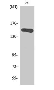 Fig. Western Blot analysis of various cells using GAK Polyclonal Antibody.