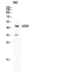 Fig.1. Western Blot analysis of various cells using Galectin-9 Polyclonal Antibody diluted at 1:1000.