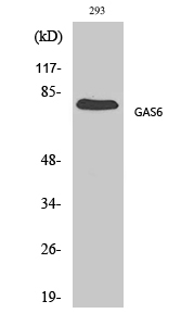 Fig.1. Western Blot analysis of various cells using Gas6 Polyclonal Antibody diluted at 1:500.