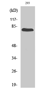 Fig.2. Western Blot analysis of 293 cells using Gas6 Polyclonal Antibody diluted at 1:500.
