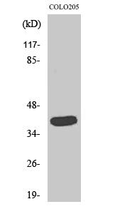 Fig. Western Blot analysis of various cells using GATA-1 Polyclonal Antibody diluted at 1:2000.