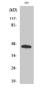 Fig. Western Blot analysis of various cells using GBDR1 Polyclonal Antibody diluted at 1:500.