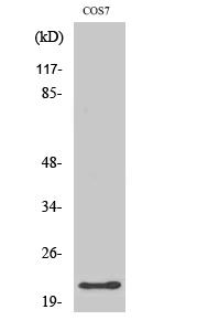 Fig. Western Blot analysis of various cells using GCG Polyclonal Antibody.