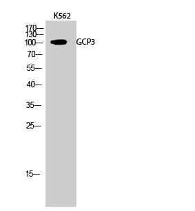 Fig.2. Western Blot analysis of K562 cells using GCP3 Polyclonal Antibody.
