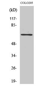 Fig. Western Blot analysis of various cells using GCP4 Polyclonal Antibody.