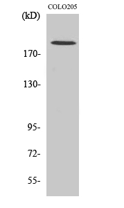 Fig. Western Blot analysis of various cells using GCP6 Polyclonal Antibody diluted at 1:1000.