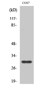 Fig.2. Western Blot analysis of COS7 cells using GCSm-γ Polyclonal Antibody diluted at 1:1000.