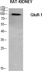 Fig.1. Western Blot analysis of various cells using GluR-1 Polyclonal Antibody diluted at 1:500.