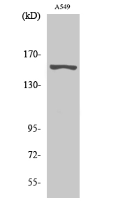 Fig. Western Blot analysis of various cells using GPR116 Polyclonal Antibody diluted at 1:500.