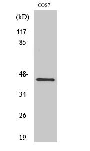 Fig. Western Blot analysis of various cells using GRP1 Polyclonal Antibody.