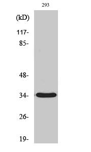 Fig. Western Blot analysis of various cells using GRTP1 Polyclonal Antibody.