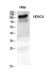 Fig.1. Western Blot analysis of various cells using HDAC4 Polyclonal Antibody diluted at 1:2000.