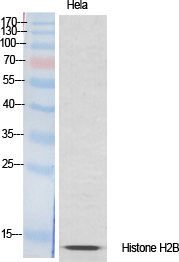 Fig.1. Western Blot analysis of various cells using Histone H2B Polyclonal Antibody diluted at 1:1000.