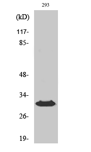 Fig. Western Blot analysis of various cells using HLA-DOβ Polyclonal Antibody diluted at 1:1000.
